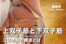 上双子筋と下双子筋について いまさら聞けない解剖学講座