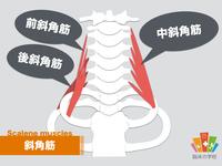 【イラスト付き】斜角筋としびれの関係を解剖学的に解説!|スマホ症候群