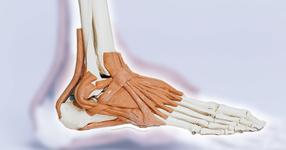 立方骨の機能と構造|触診