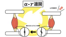 【図解】筋緊張とは何か?筋緊張と痙性の生理学