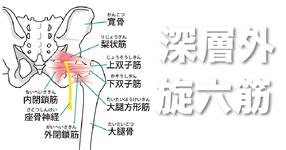 股関節外旋六筋(梨状筋、外閉鎖筋、大腿方形筋、内閉鎖筋、上双子筋、下双子筋)の起始・停止・作用