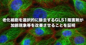 【東京大学】老化細胞を選択的に除去するGLS1(グルタミナーゼ1の略称)阻害剤が加齢現象等を改善させることを証明