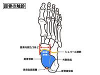 距骨の機能と構造|触診